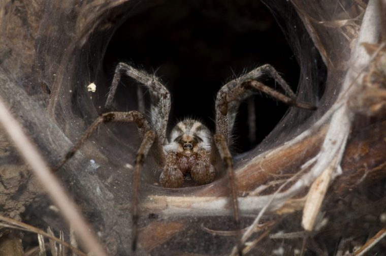 "Note: While this image is labeled ""Brown Recluse Spider"" on Wikipedia, it is almost certainly not an image of a brown recluse. It was taken far outside the spider's home range, it has markings inconsistent with a brown recluse, and to my knowledge brown recluse spiders do not build funnel-webs."