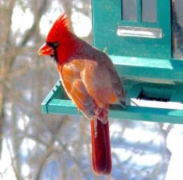 2I. Cardinal – Version 2