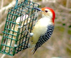 7C. red-bellied woodpecker – Version 2