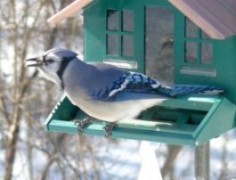 13A. bluejay – Version 2
