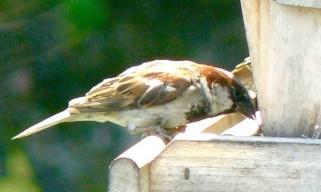 24. house sparrow – Version 2