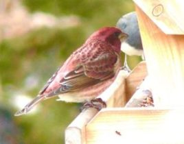 26A. Housefinch – Version 2
