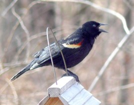 21C. red-winged blackbird – Version 2