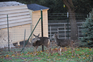 Deer in the yard