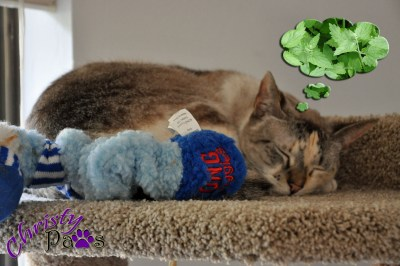 dreaming of catnip