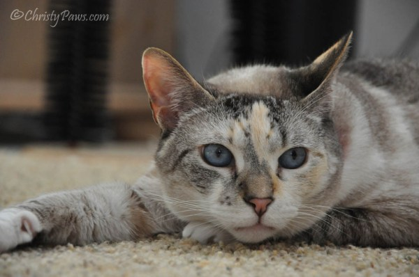 Adopt a Shelter Pet Month - Thinking about all the kitties in shelters who need a loving home.