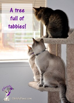 A tree full of tabbies - Christy, Echo and Ocean, three tabby cats in the cat tree