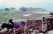 Oxen in Yemen