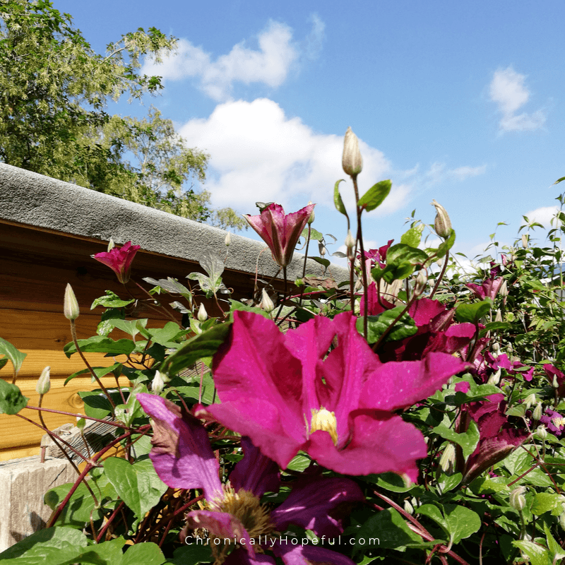 Clematis climbing up a shed