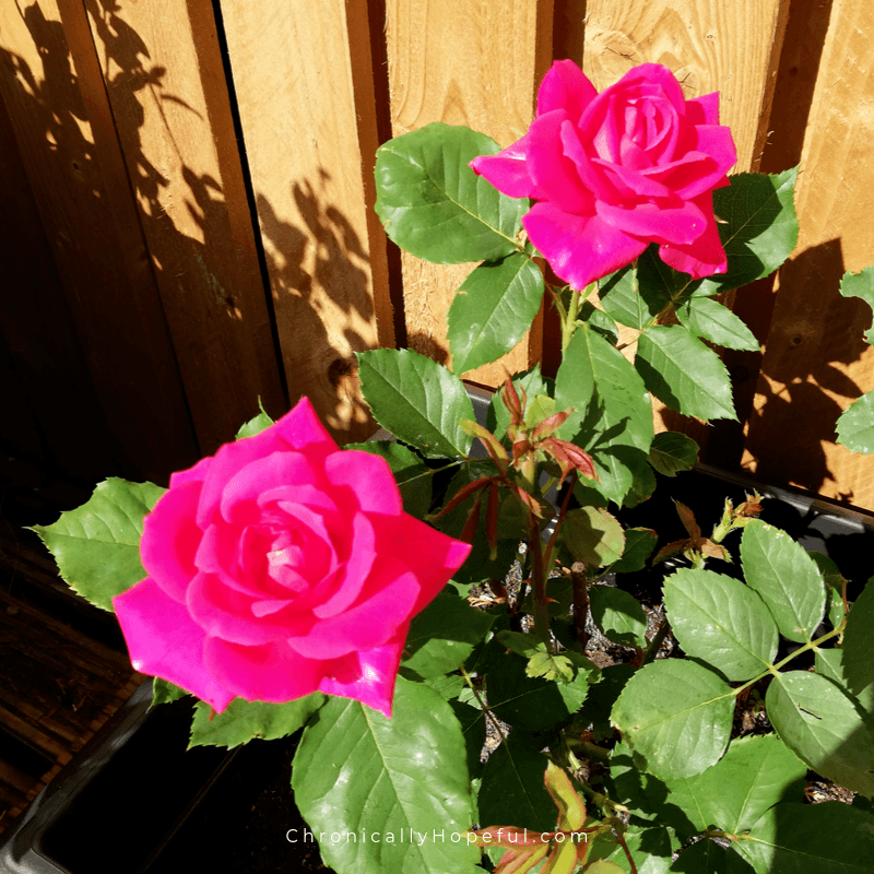 Dark pink roses in a pot by the wooden fence