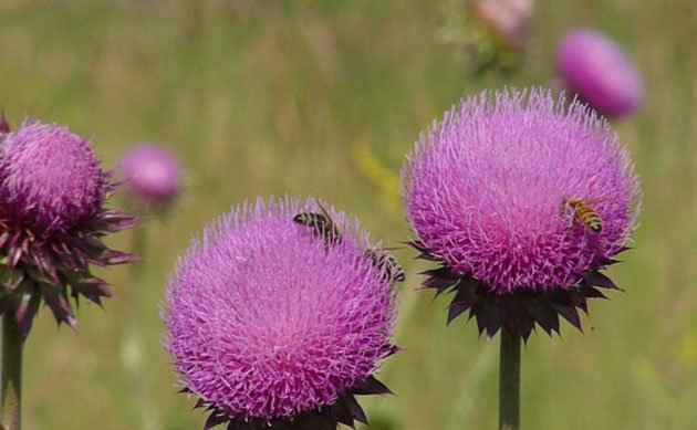 purple thistles in bloom with bees