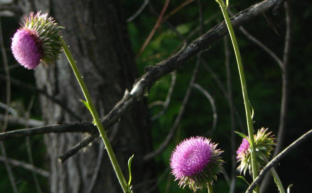 thistles in bloom with the dark gray of tree trunks in the background