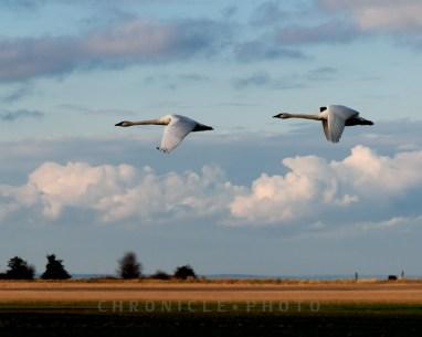 Swan Migration, Skagit Valley, 2010