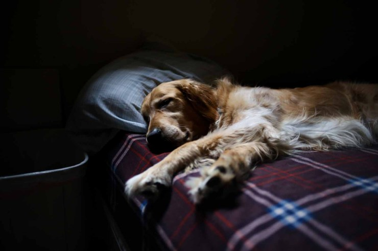 Moody atmosphere, a long haired golden retriever dog lays sleeping on a humans bed. The bed has a pillow and a tartan printed bedcover.