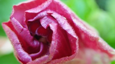 Hibiscus Bud Close-up