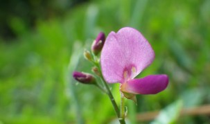 Pink Weed