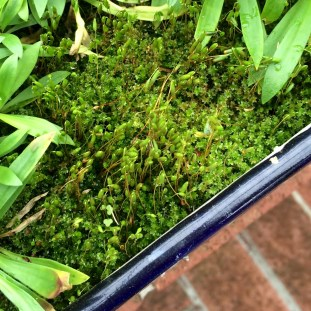 Moss in planter, wide view