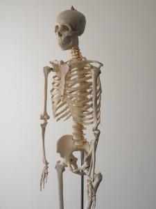 人体全身骨格模型