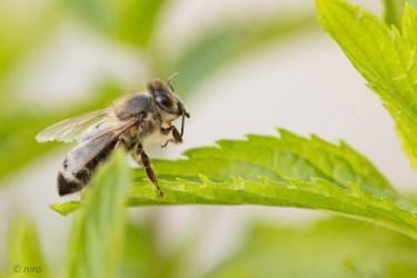 abeille-21