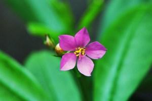 Fleur de ginseng