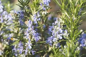 Branches et fleurs de romarin