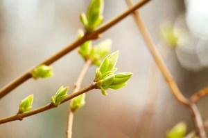 Des bourgeons pour une vie saine