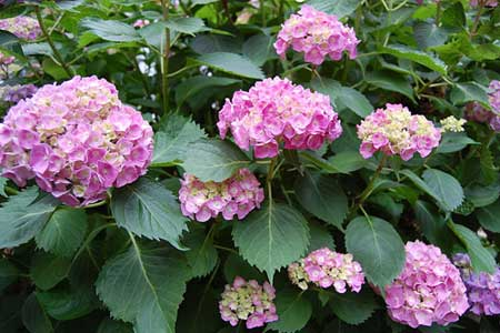 Hydrangea_Bush Chronos stores marketplace Tobiloba seller
