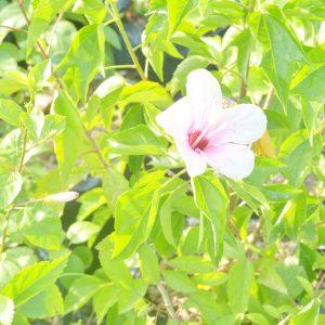 Hibiscus Flower plant