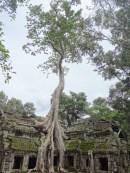 Most famous tree, Ta Phrom