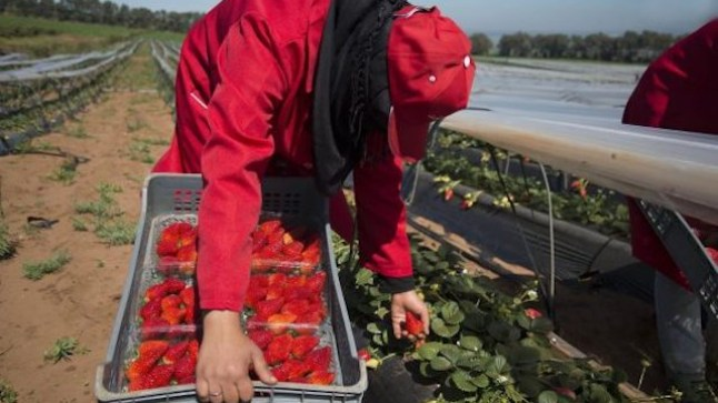 تحقيق إسباني يكشف حجم المعاناة والانتهاكات التي تُرتكب في حق عاملات الفراولة المغربيات