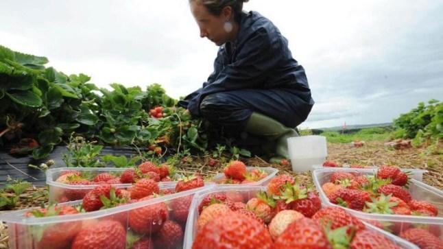 إغلاق المغرب لحدوده يدفع إسبانيا لإستقدام 20 ألف عاملة فراولة من أوربا الشرقية وأمريكا اللاتينية