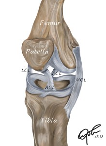 Ligaments of the human knee joint ACL: Anterior cruciate ligament PCL: Posterior cruciate ligament LCL: Lateral collateral ligament MCL: Medial collateral ligament