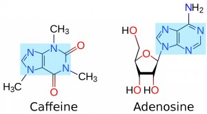 "The structures of Caffeine and Adenosine. Notice how similar their central ring structures (highlighted in light blue) are. This similarity is why Caffeine can trick the receptors on the neurons into ""thinking"" that it is adenosine."