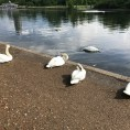Swans in Hyde Park. London, UK.