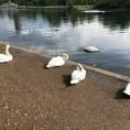 Swans in Hyde Park. London, UK.