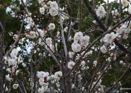 防府天満宮の梅の花を見て来ました。