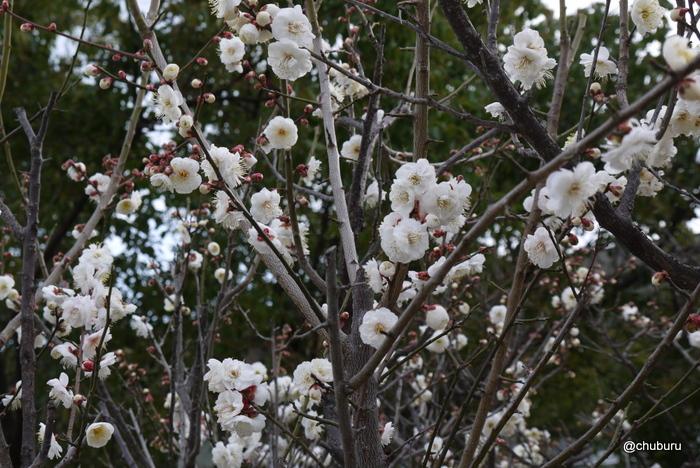 防府天満宮の梅の花