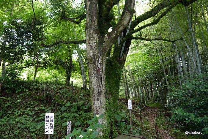 大聖寺のあじさいを見てきました。その2日本一のイヌマキ