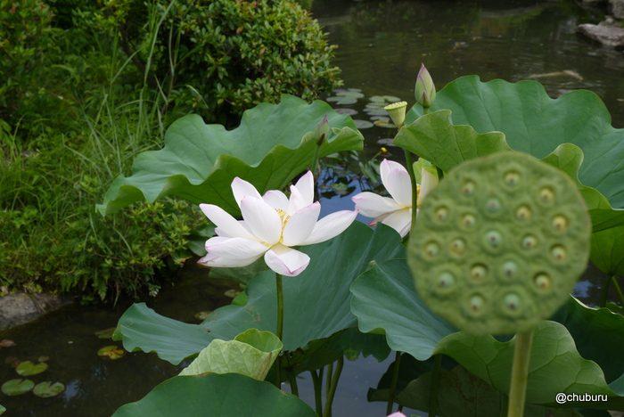 長府庭園の孫文蓮を見てきました。