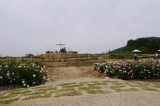 薔薇の花を見に広島に行ってきました。その5世羅高原花の森あたり一面のバラに囲まれる