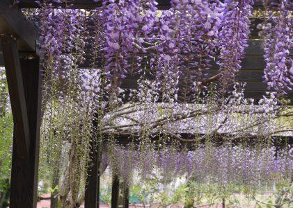 維新百年記念公園の藤棚