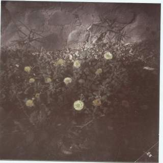 Flores de papel (Helichrysum bracteatum, 1984)