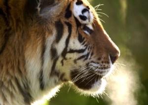 Whipsnade Siberian Tiger