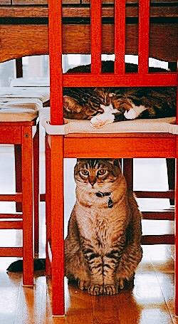 gatos-cadeiras