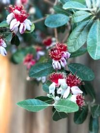feijoa-flowers_2