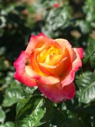 rose-bee