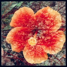 roseflower