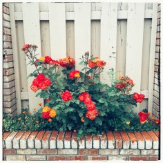roses-fence