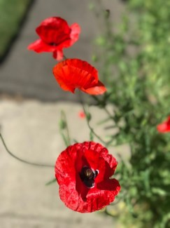 r-poppies–5