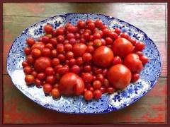 tomatos17_21